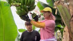 박나래와 해남 정우, 이제는 바나나 수확까지 (못하는 게 뭐야?)