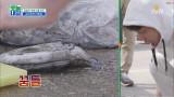 (먹물어택주의) 갑오징어 손질법, 보여드립니다!